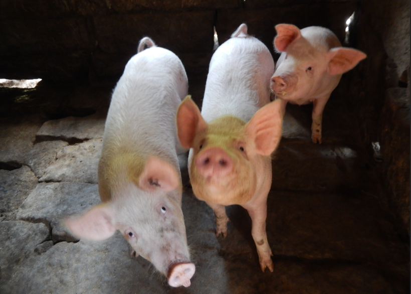 江苏再现非洲猪瘟,生猪周期或提前反转